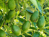 Ripe avocado fruits growing on tree as crop — Stock Photo