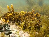 Big marine slug grazes algae growing on seaweed — Stock Photo