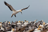 Colony of Australasian Gannets, Morus serrator — Stock Photo