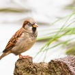 House Sparrow, Passer domesticus, on the perch - Stock Photo