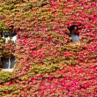 House facade overgrown with vibrant red fall vine — Stock Photo