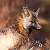 Portrait of alert watchful red fox, genus Vulpes — Stock Photo