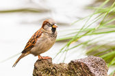 House Sparrow, Passer domesticus, on the perch — Stock Photo