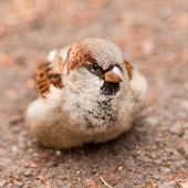 House Sparrow, Passer domesticus, foraging — Stock Photo