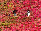 House facade overgrown with vibrant red fall vine — Zdjęcie stockowe
