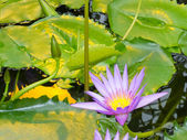 Nymphaea, King of the Blues, tropical waterlily — Stock Photo