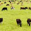 Herd of cows on lush green meadow pasture — Stock Photo