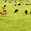 Stock Photo: Herd of cows on lush green meadow pasture