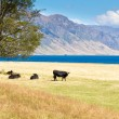 Cattle grazing at Hawea Lake, Southern Alps, NZ - Stock Photo