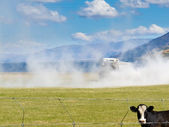 Cow watch truck apply fertilizer on pasture field — Stock Photo