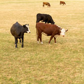 Young cows on lush green meadow pasture — Stock Photo