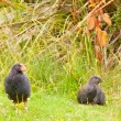 Flightless NZ bird Takahe adult and young chick — Stock Photo