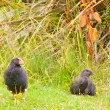 Flightless NZ bird Takahe adult and young chick — Stock fotografie