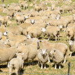 Flock of wool sheep close together in field - Stock Photo