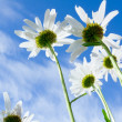 Close-up shot of white daisy flowers from below - Stock Photo