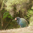 Flightless NZ bird Takahe Porphyrio hochstetteri — Stock Photo