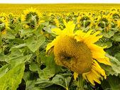 Field of blooming yellow sunflowers to horizon — Stock Photo