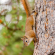 Curious cute American Red Squirrel climbing tree — Stock Photo