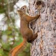 Stock Photo: Curious cute AmericRed Squirrel climbing tree