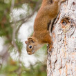 Curious cute AmericRed Squirrel climbing tree — Stock Photo #11716389