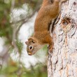 Curious cute American Red Squirrel climbing tree - Stock Photo