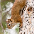 Curious cute American Red Squirrel climbing tree — Foto de Stock