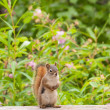 Curious cute American Red Squirrel posing watchful - Stock Photo
