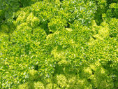 Background of fresh curly parsley in herb garden — Stock Photo