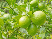 Closeup of still green lemon fruits on tree — Stock Photo