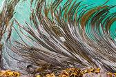Bull Kelp blades on surface background texture — Stock Photo