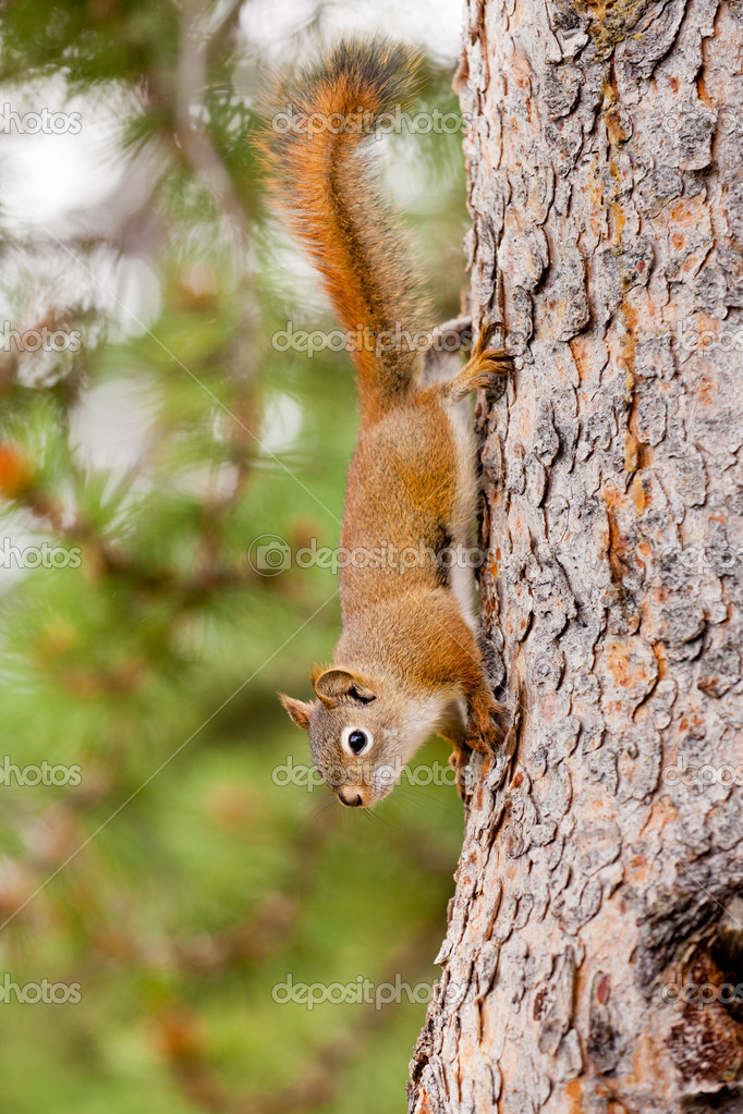 Curious cute American Red Squirrel, Tamiasciurus hudsonicus, climbing head first down a pine tree trunk — Stok fotoğraf #11716378