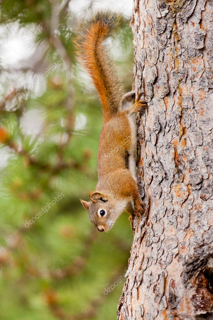 Curious cute American Red Squirrel, Tamiasciurus hudsonicus, climbing head first down a pine tree trunk  Photo #11716378