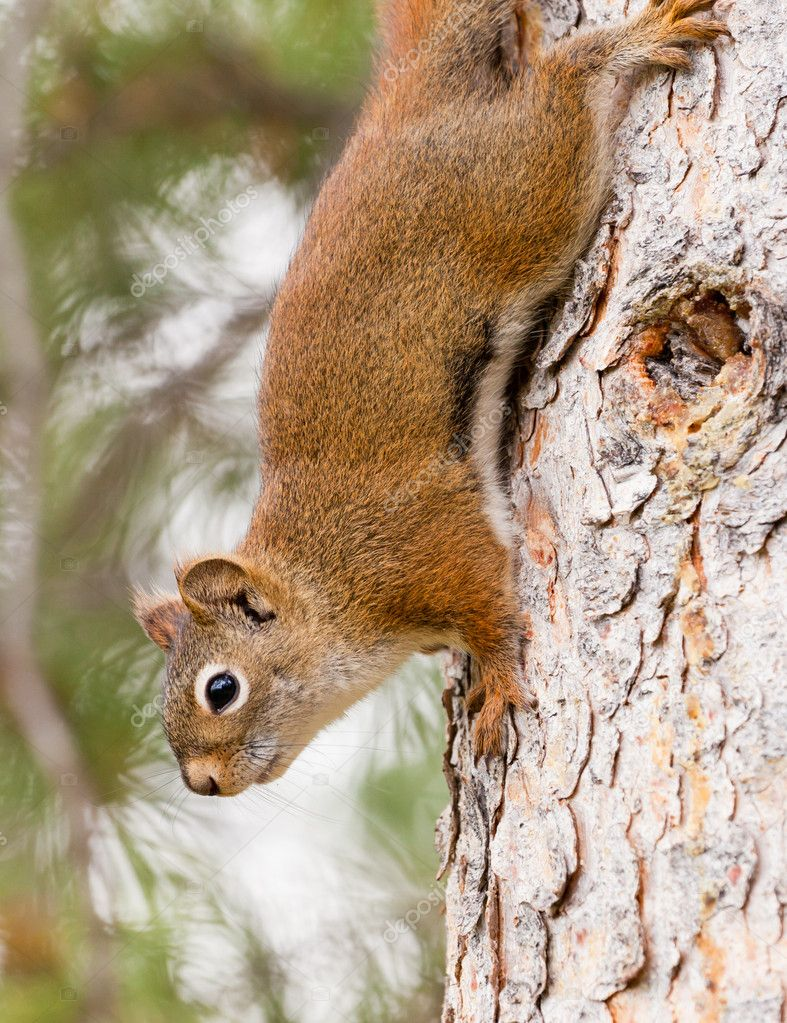 Curious cute American Red Squirrel, Tamiasciurus hudsonicus, climbing head first down a pine tree trunk — Stock Photo #11716401
