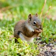 Cute American Red Squirrel feeding on sunflower seed - Stock Photo