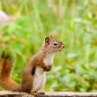 Stock Photo: Curious cute AmericRed Squirrel posing watchful