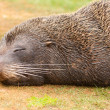 New Zealand fur seal Arctocephalus forsteri naps — Stock Photo