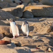 Family of NZ Yellow-eyed Penguin or Hoiho on shore — Stock Photo