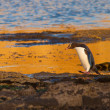Stock Photo: Adult NZ Yellow-eyed Penguin or Hoiho on shore