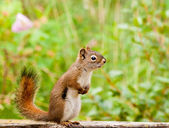 Curious cute American Red Squirrel posing watchful — Stok fotoğraf