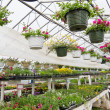 Flowers growing in foil hothouse of garden center — Stock Photo #12033155