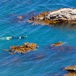 Snorkeller in ocean between rocks and bull kelp — Stock Photo