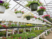 Flowers growing in foil hothouse of garden center — Stock Photo