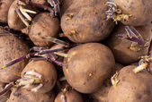 Background of sprouting Yukon Gold seed potatoes — Stock Photo