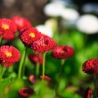 Red and white flowers — Stockfoto