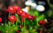 Red and white flowers — Stock Photo