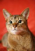 猫の王様 — ストック写真