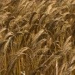 Yellow grain ready for harvest growing in a farm field — ストック写真