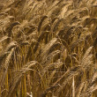 Yellow grain ready for harvest growing in a farm field — Stock Photo #11440192