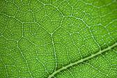 Green fresh leaf details macro — Stock Photo