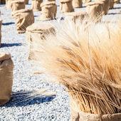Ripe Summer Wheat — Stock Photo